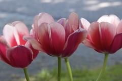 red tulips (ToJoLa) Tags: 2018 canon spring voorjaar lente kleuren bloemen mood compositie tulp tulip colours nuenen