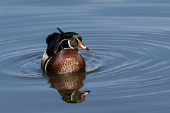 Wood Duck Drake (fethers1) Tags: sterneparklake sternepark duck waterfowl coloradowildlife woodduck
