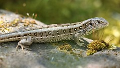 Lézard (Carahiah) Tags: nature macro extérieur dehors wild lézard calme zen peau skin pose soleil herbe vert roche animal