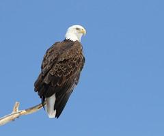 Bald Eagle (fethers1) Tags: rockymountainarsenalnwr rmanwr rmanwrwildlife coloradowildlife bird raptor eagle baldeagle