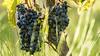 Uvas - Cosecha - Vid (Rodri Valdez) Tags: uva cosecha vid uvas detalles details wine materia prima vino viña