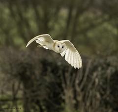 Barny (Nobby1968) Tags: birds owls warwickshire shipston barn owl bird prey raptor hunter british nature wildife outdoors