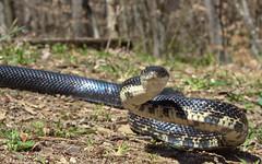 Black rat snake (Pantherophis obsoletus) (phl_with_a_camera1) Tags: michigan nature spring animal herping herp black rat snake pantherophis obsoletus