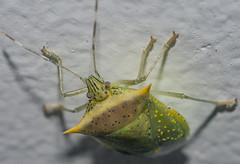 Arvelius albopunctatus - Tomato Stink Bug (De Geer, 1773) (A Sprinkle of Earth) Tags: hemiptera heteroptera pentatomomorpha pentatomoidea pentatomidae pentatominae chlorocorini arvelius sp arveliussp arveliusalbopunctatus green yellow blue verde amarelo azul black preto orange laranja pentatomid pentatomídeo stink bug bugs stinkbug tomatostinkbug mariafedida maria fedida mariafedidadotomate percevejo percevejos percevejodotomate fortaleza ceará ceara brasil brazil neotropical southamerica américadosul entomology entomologia insetologia biology biologia oscarneto asprinkleofearth spiritofphotography wild wildlife vidaselvagem selvagem animalia animal animals animais fauna insect insecta insects inseto insetos arthropoda arthropod arthropods artrópode artrópodes nature natural natureza