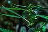 Macho_Cannabis_Male_cannabisysalud (4 of 10) (david m busto) Tags: cannabismedicinal cannabisysalud crecimiento endocannabinologia growth pequeña planta small terapeuticacannabica argentina autocultivo bahiablanca macho male marihuana marijuana