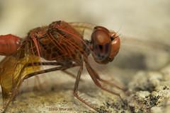 Close-up of Trithemis kirbyi. (Ricardo Menor) Tags: odonatos odonata anisópteros libélulas dragonflies dragonfly airelibre iluminaciónnatural charcosdelriogrande charcosdelriogrande2016 2016 canon60d quesa primerosplanos trithemiskirbyi macho male adultmale facetasoculares cabeza ojos omatidias