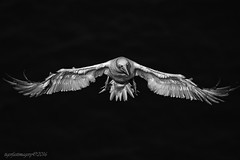 Convert (Ross Forsyth - tigerfastimagery) Tags: scotland wildlife nature coast moray summer 2016 wild bird seabird gannet northerngannet cliffs monogamous spread wings blacknwhite bw trouphead rspb colony moraycoast