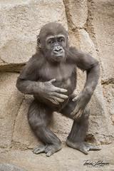 Leslie (ToddLahman) Tags: leslie westernlowlandgorilla gorilla outdoors female portrait beautiful canon7dmkii canon canon100400 closeup sandiegozoosafaripark safaripark escondido eyelock
