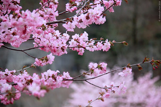 Sakura (桜) in bloom, Shirakawa Go (白川郷)