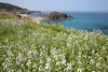 Flower of wild radish (Teruhide Tomori) Tags: landscape rock beach sea seashore coast spring flower nature tateiwa kyoto tango japan 丹後半島 立岩 日本 海岸 風景 shore 京都 ハマダイコン