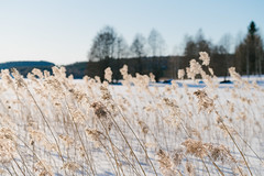This is Brightness (@Tuomo) Tags: päijänne finland jyväskylä säynätsalo winter spring sunshine snow ice landscape bulrush sony a7r3 sel70200g vsco portra160