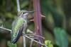 Anna's Hummingbird (f) (Becky Matsubara) Tags: anhu annashummingbird avian bird birds california calypteanna colibridanna colibrícabezaroja ebrpd eastbayregionalparks hummingbird nature outdoors pointpinole pointpinoleregionalshoreline ptpinole wildlife ebparksok