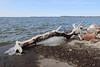 Icy log (danielhast) Tags: madison lake log ice mendota lakemendota water wisconsin