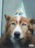 Birthday Shoot (MedicalRx) Tags: dogs german shepherd shepsky husky alaskan nikon golden retriever photography party puppy portrait canada d5100 50mm cute canine quebec candid funny comedy