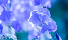 Swwet and blue (frederic.gombert) Tags: light color sun sunlight ray bloom blossom colors blue lily iris bunch garden flower flowers colored macro nikon