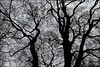 A PROPOS DE RIEN 153 (Nigel Bewley) Tags: londonplane tree platanusxhispanica platanus×acerifolia barebranches winter silhouette pattern texture shape blackandwhite blackwhite nature abstract mountstreetgardens mayfair london england uk londonist unlimitedphotos april april2018 nigelbewley photologo appicoftheweek