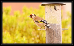 """Goldfinch..."" (NikonShutterBug1) Tags: nikond7100 tamron18400mm birds ornithology wildlife nature spe smartphotoeditor birdfeedingstation bokeh birdsfeeding goldfinch"