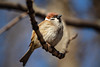 Basking in the sun (Unicorn.mod) Tags: 2018 colors nature spring bird sparrow april canoneos6d canon70300f456isusm outdoor