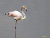 Flamenco común (Phoenicopterus roseus) (17) (eb3alfmiguel) Tags: aves zancudas phoenicopteriformes phoenicopteridae agua flamenco común phoenicopterus roseus