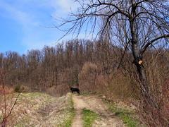 szép utakon / on beautiful trails (debreczeniemoke) Tags: tavasz spring erdő forest rét meadow fa tree ösvény trail út road way kutya dog frakk erdélyikopó transylvanianhound olympusem5