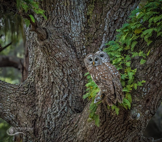 Two for one _Barred Owls