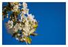 Sakura - Cherry Blossom - さくらさくら - Springtime (Eckehard Straßweg) Tags: kirschblüte japan natur nature outside tree sakura cherryblossom bluesky blauerhimmel light cherrytree kirschbaum springtime spring fujifilmxt2 flowers blüte garden garten deutschland europe fujinonlens april