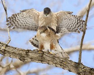 Eperviers de Cooper - Cooper's Hawks
