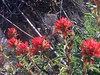 2018.04.14 - wavyleaf paintbrush (JBYoder) Tags: angiosperm castilleja castillejaapplegateii dicot flora flower orobanchaceae paintbrush angelesnationalforest california