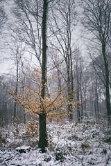 beech in snow (Diana Klawitter) Tags: beech snow winter wood wald buchenwald datzetal bassow staven buche