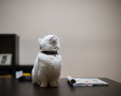 2017.10.7: looking up (Nazra Z.) Tags: munchkin cat pet home indoors raw okayam okayama japan 2017