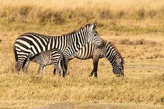 Zebras (AasifLatif) Tags: zebras lakenakuru kenya africa february wildlifeofkenya wildlifeofafrica natural light nature photograph photography wildlifesafari africasafari junglesafari wildlife wildlifephotography animal animals