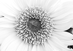 Centre... (Daniela 59) Tags: 7dayswithflickr thursdaythemebw flickrfriday roundshapes blackandwhite flower sunflower centre round macro danielaruppel