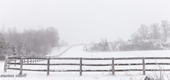 Fence In  a White Landscape #HFF (maureen.elliott) Tags: hff happyfencefriday landscape winter fence rural snow trees laneway farm highkey snowstorm nocolour monochrome