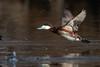 Ruddy Duck-47682.jpg (Mully410 * Images) Tags: avian birding birdsinflight coonrapidsdam ruddyduck bird birds birder birdwatching duck waterfowl mississippinationalriverrecreationarea nationalpark