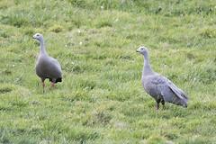 Cape Barren Geese (Baractus) Tags: tasmania australia cape barren goose john oates waterhouse inala nature tours pepper bush adventures