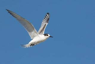 20180423_7865_7D2-400 White-fronted Tern