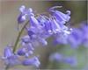 Dreamy (♥ Annieta  pause) Tags: annieta april 2018 sony a6000 nederland netherlands tuin garden jardin boshyacint bluebell bleu blue blauw flower fleur bloem flora allrightsreserved usingthispicturewithoutpermissionisillegal ngc coth5