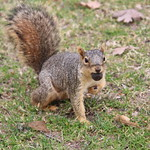 Squirrels in Ann Arbor at the University of Michigan (April 24th, 2018) thumbnail