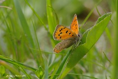 ... Lycaena phlaeas (Plebejus argus) Tags: lycaenaphlaeas licenidi farfalle butterflies lepidotteri insetti montilepini laziomeridionale it