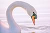 Poem (matthiasstiefel) Tags: höckerschwan schwan swan