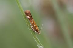 Gelechiidae, Mirificarma eburnella (Miguelpema) Tags: insecto mariposa butterfly butteflies andalucia cadiz chiclana nature macro