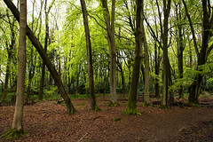 IMG_7702.jpg (ChodHound) Tags: ashridgeestate bluebells
