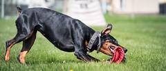 Privatization (zola.kovacsh) Tags: outdoor animal pet dog ipo schutzhund dobermann doberman pinscher