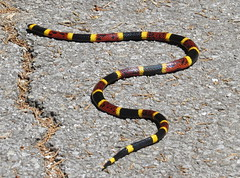 Coral Snake (Bug Eric) Tags: animals wildlife nature outdoors herpetology herps reptiles snakes texas usa venomous dangerous coralsnake brackenridgefieldlaboratory austin northamerica april222018