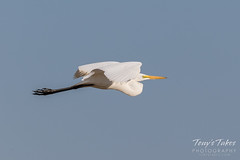 April 29, 2018 - A Great Egret in flight. (Tony's Takes)