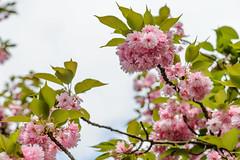 Frühlingsfarbe (G_Albrecht) Tags: bluetenpflanze farben gestaltung landschaft pflanze pink umwelt