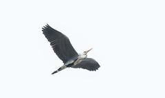 Oare flying Heron