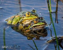 Verifying the math: 1 + 1 = ???_2199 (George Vittman) Tags: animal frog lovers paring marsh green greenfrog nikonpassion wildlifephotography jav61photography jav61 fantasticnature