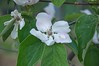 Cydonia oblonga (douneika) Tags: cydonia oblonga taxonomy:family=rosaceae taxonomy:binomial=cydoniaoblonga rosaceae cotogno quince