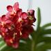 Vanda Wild Cherry